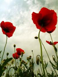 风雨里的罂粟花